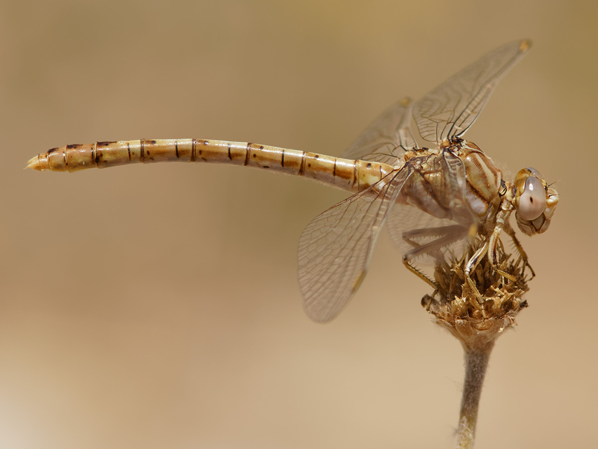 Onychogomphus costae, female