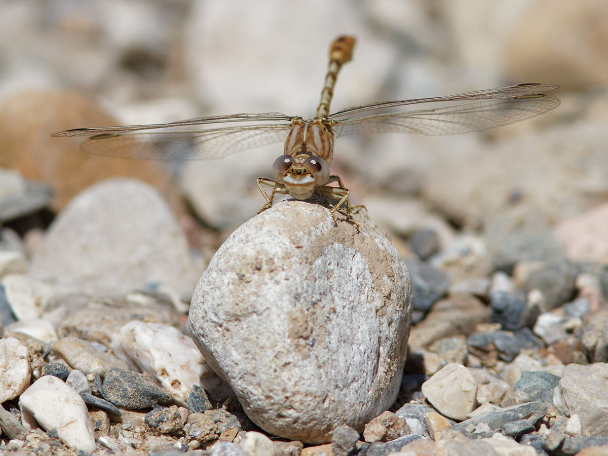 Onychogomphus costae, male