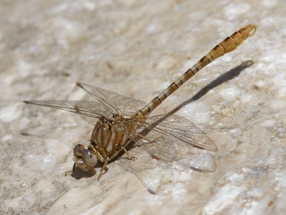 Onychogomphus costae - Faded Pincertail