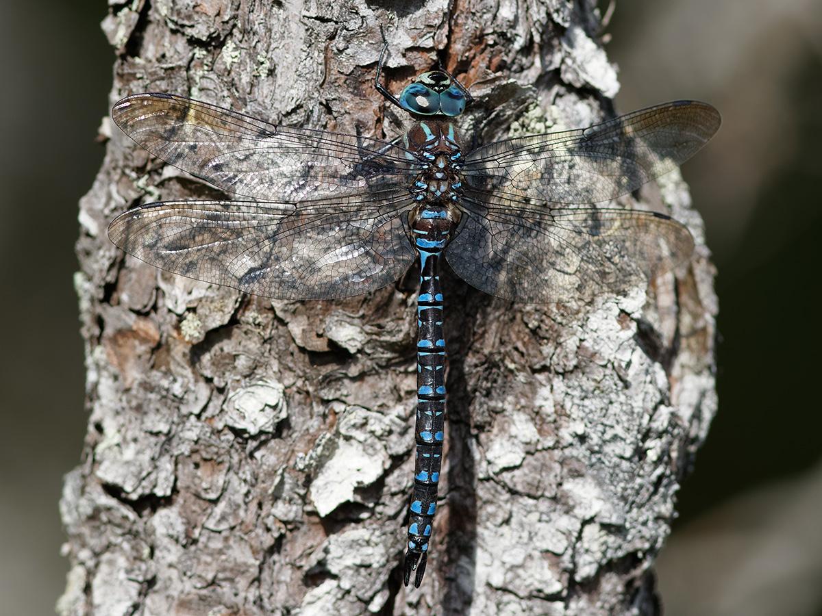 Aeshna crenata, male