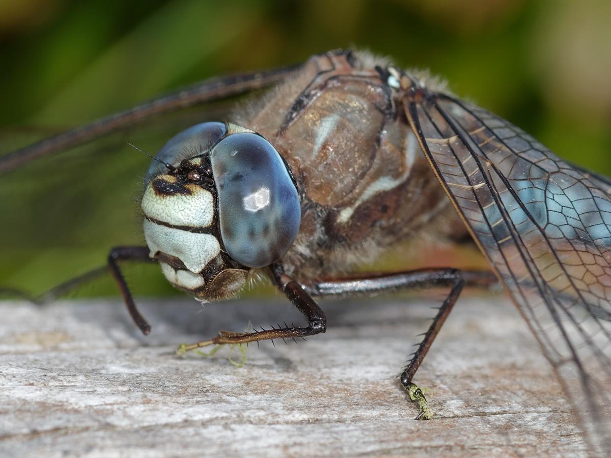 Aeshna caerulea, male