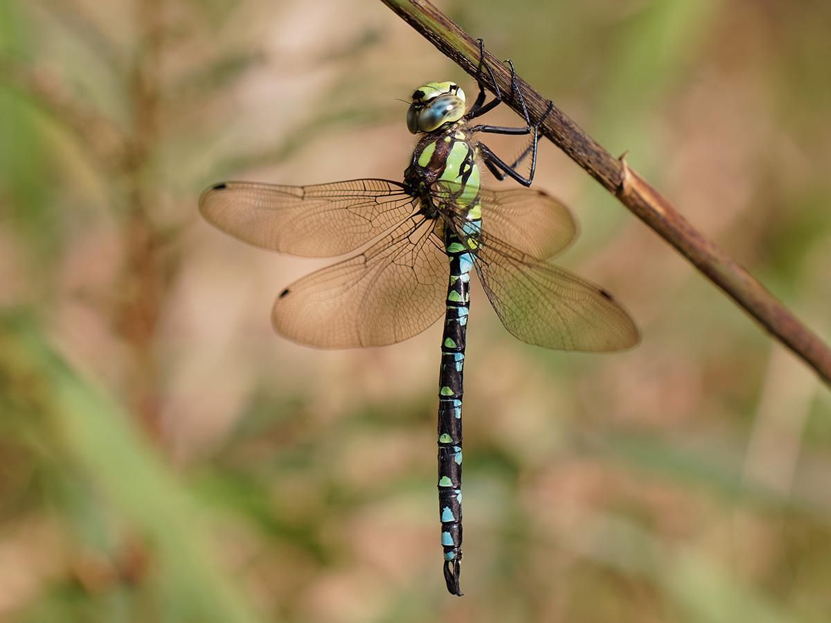 Aeshna cyanea - Blue Hawker