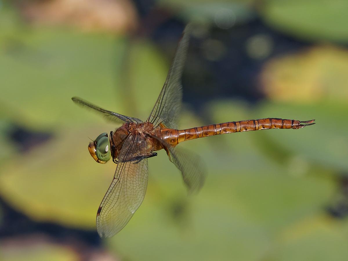 Aeshna isoceles - Green-eyed Hawker