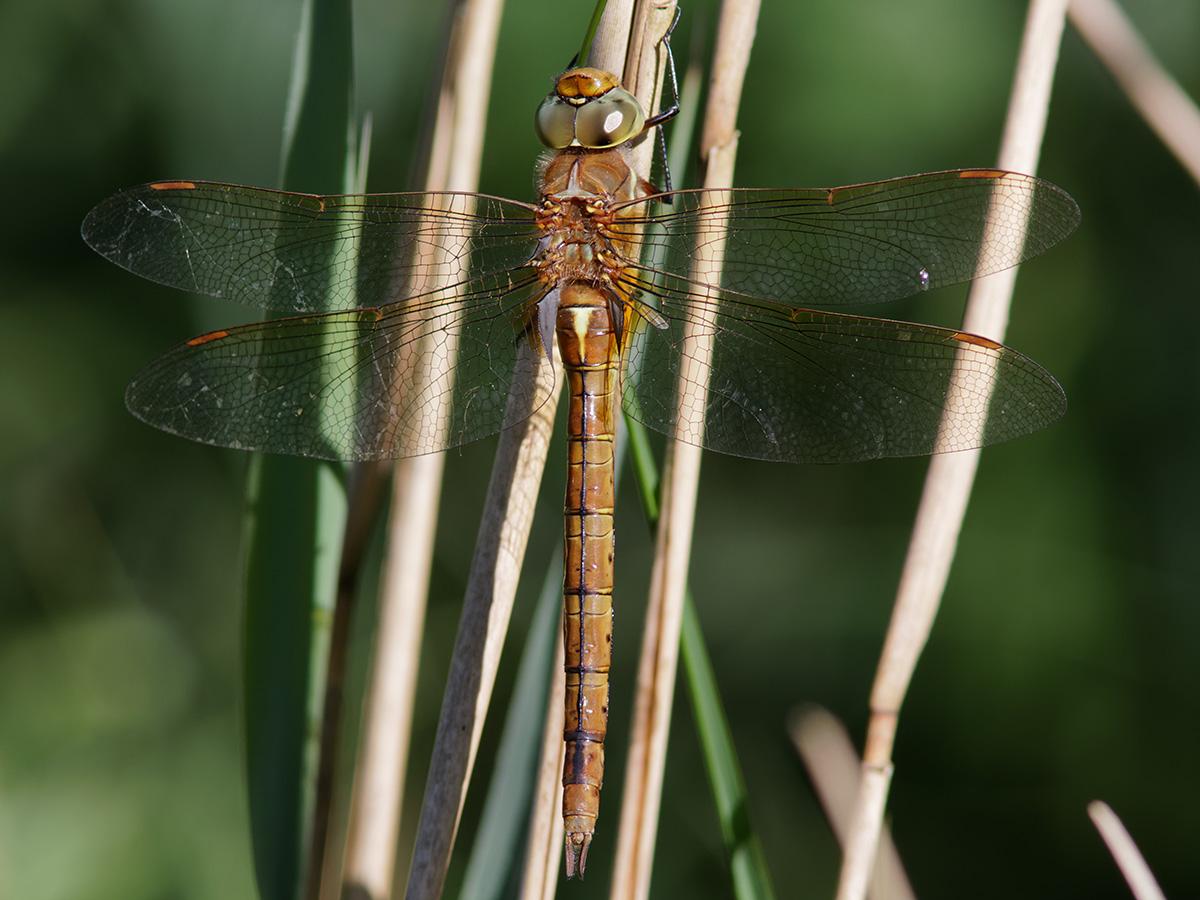 Aeshna isoceles, female