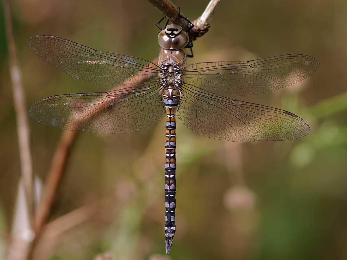 Aeshna mixta, immature male