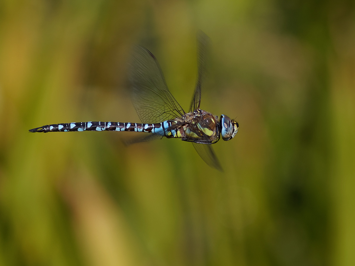 Aeshna mixta - Migrant Hawker