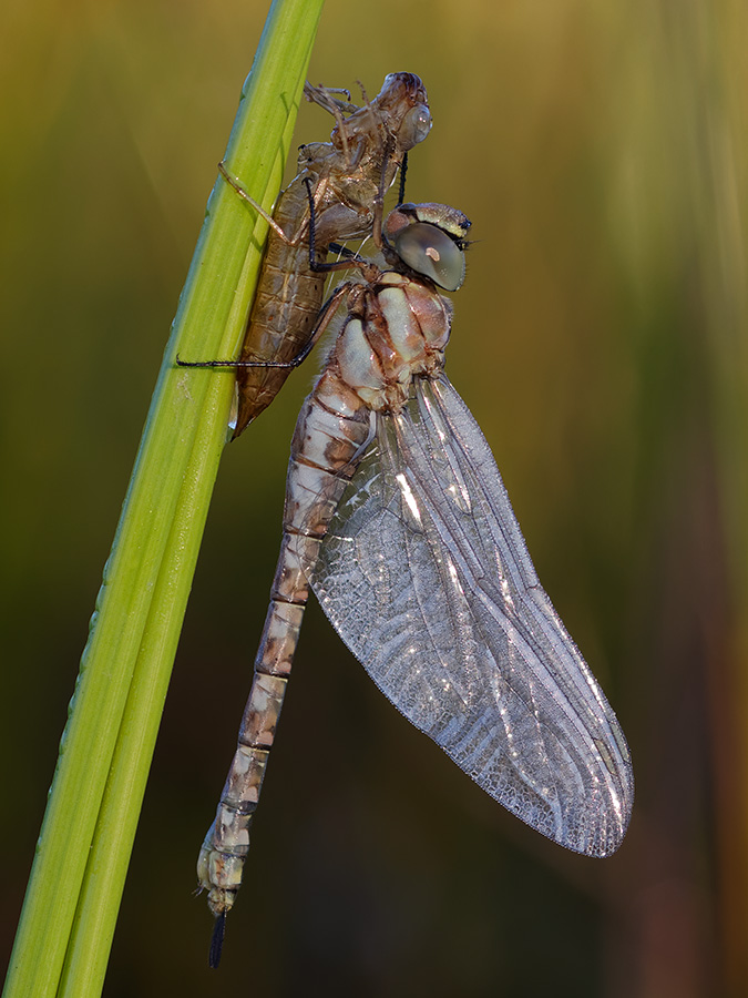 Aeshna mixta, female, emerging
