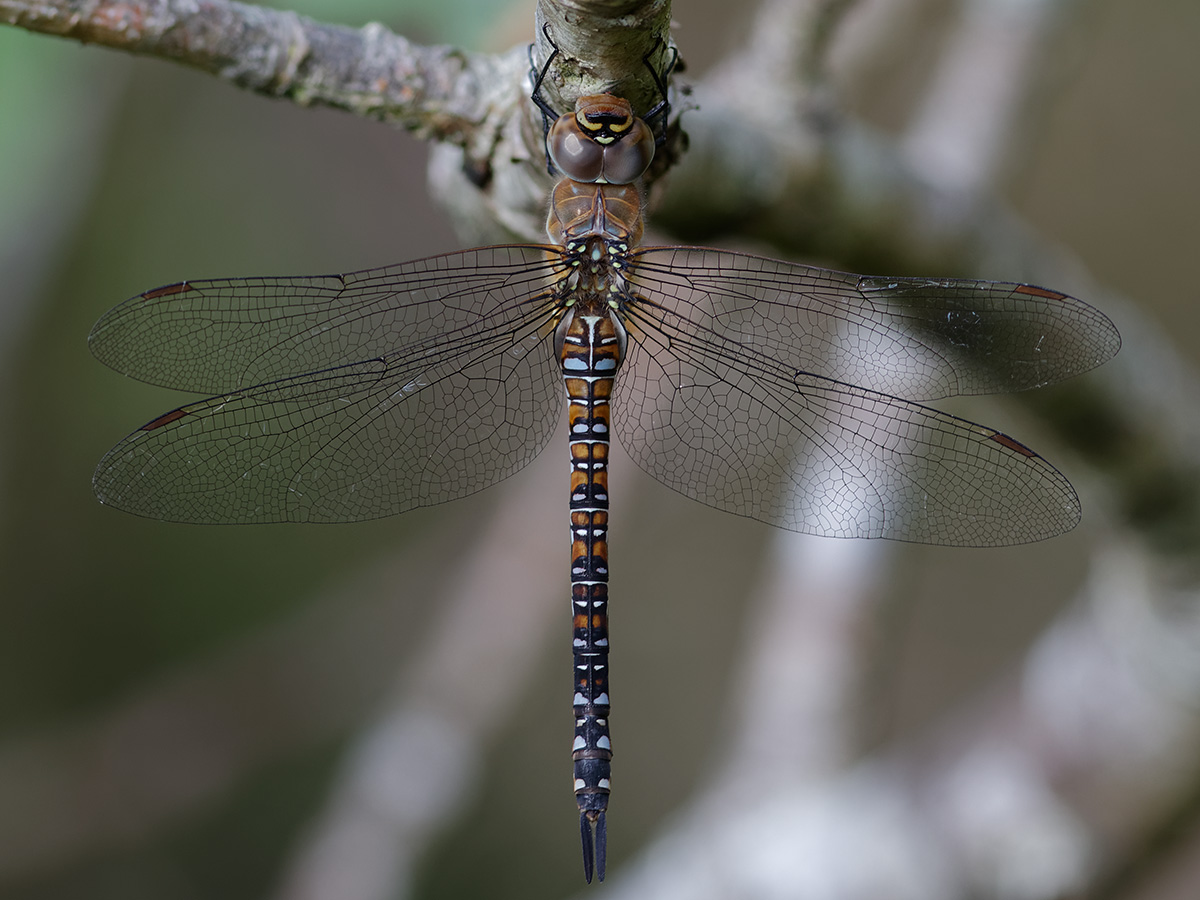 Aeshna mixta, female