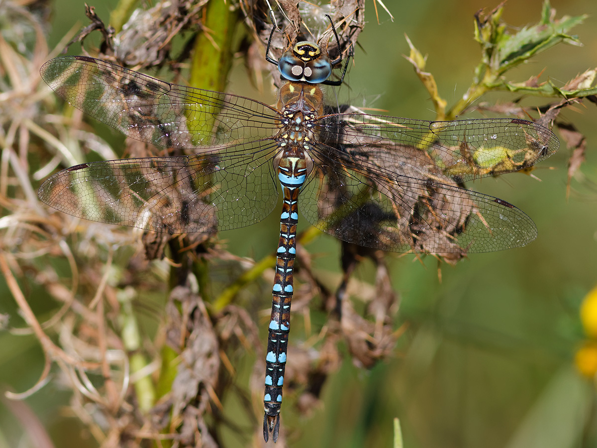 Aeshna mixta, male