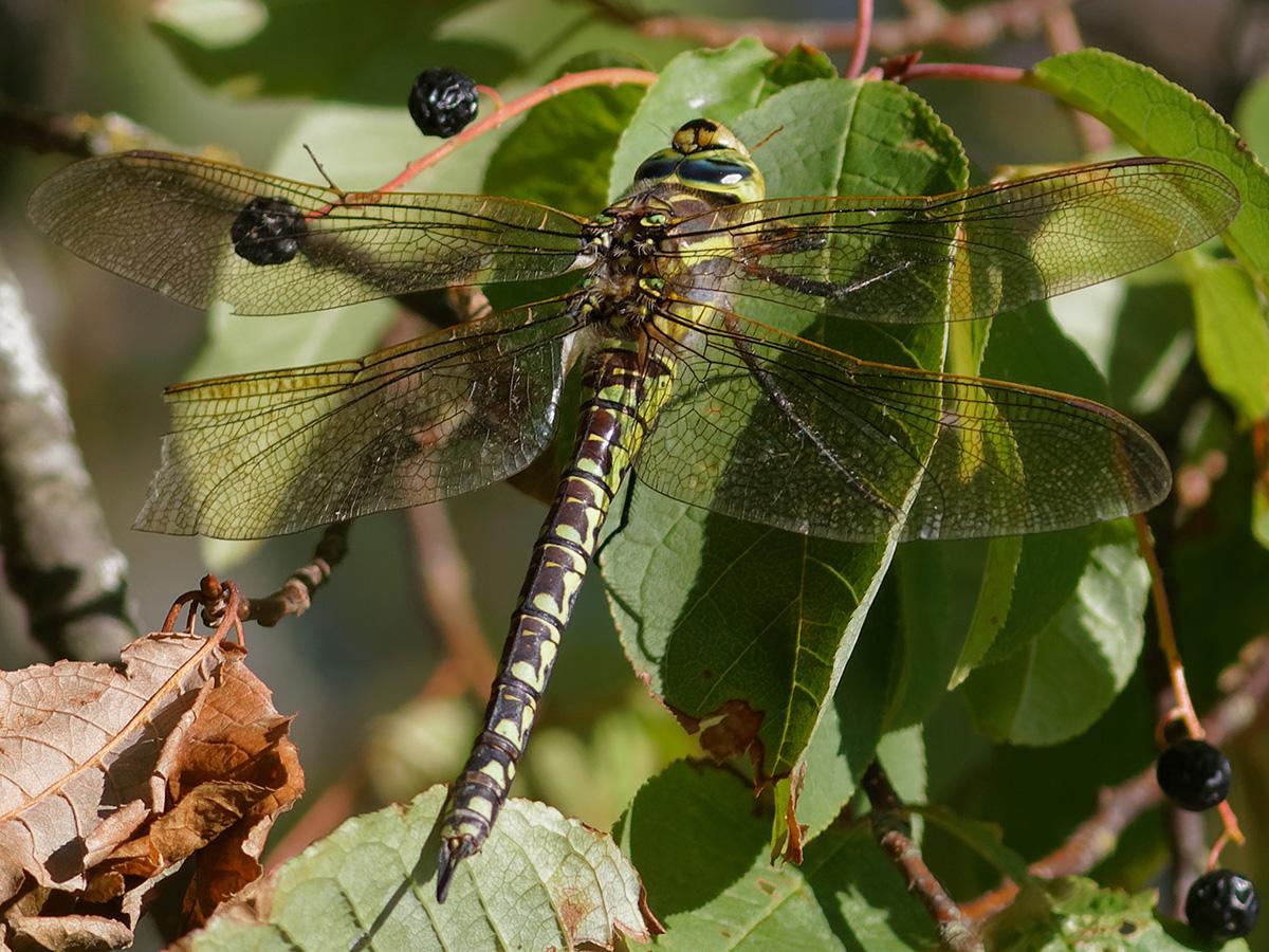 Aeshna serrata, female