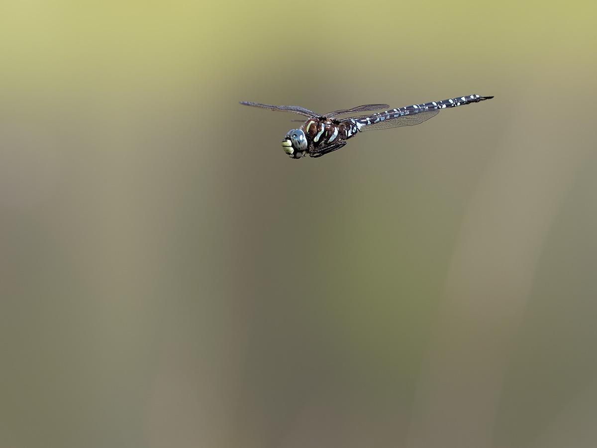 Aeshna subarctica, male
