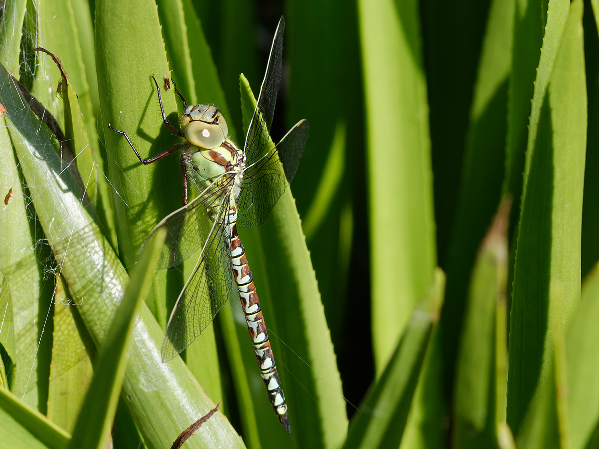 Aeshna viridis, immature male