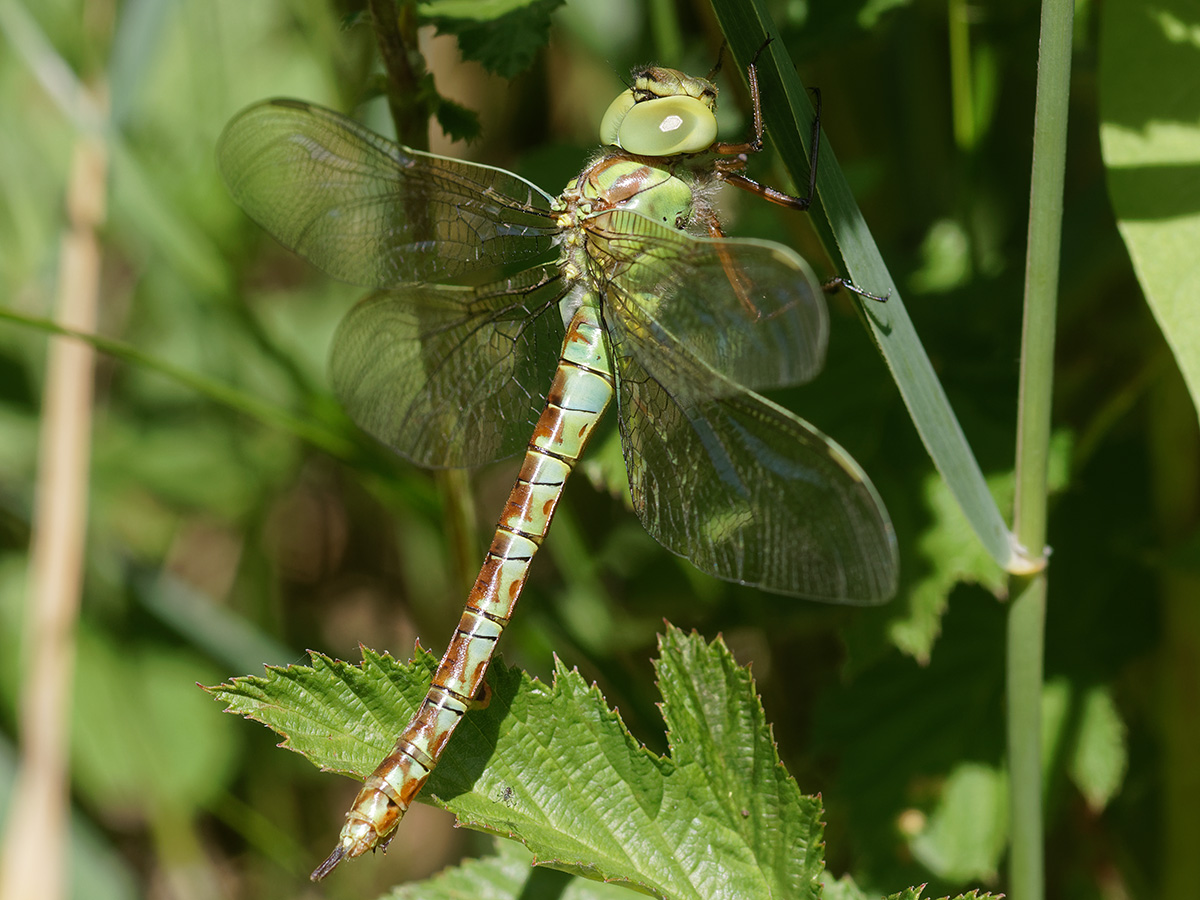 Aeshna viridis, immature female