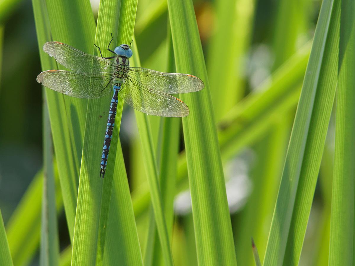 Aeshna viridis - Green Hawker
