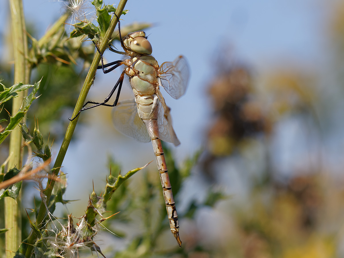 Anax ephippiger, immature male