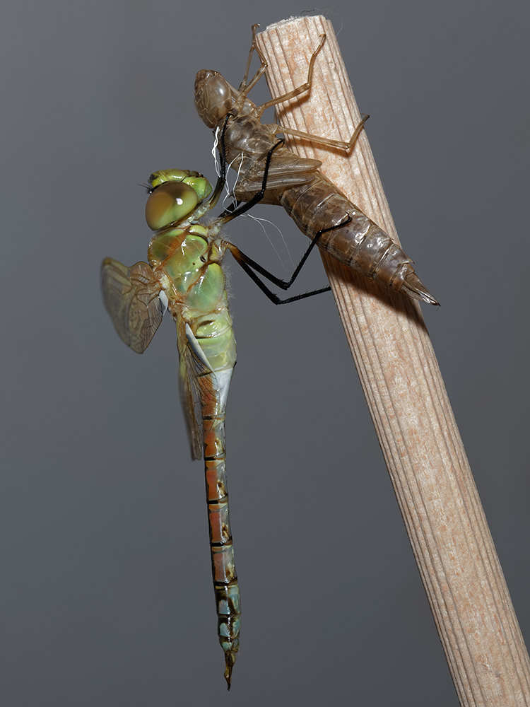 Anax ephippiger, male, emerging
