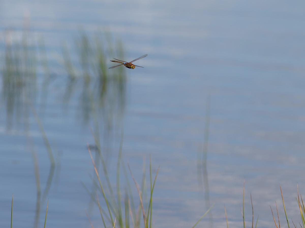 https://dragonflies.online/wp-content/uploads/anisoptera/aeshnidae/anaxephi/IMG_8242_anaxephi.jpg