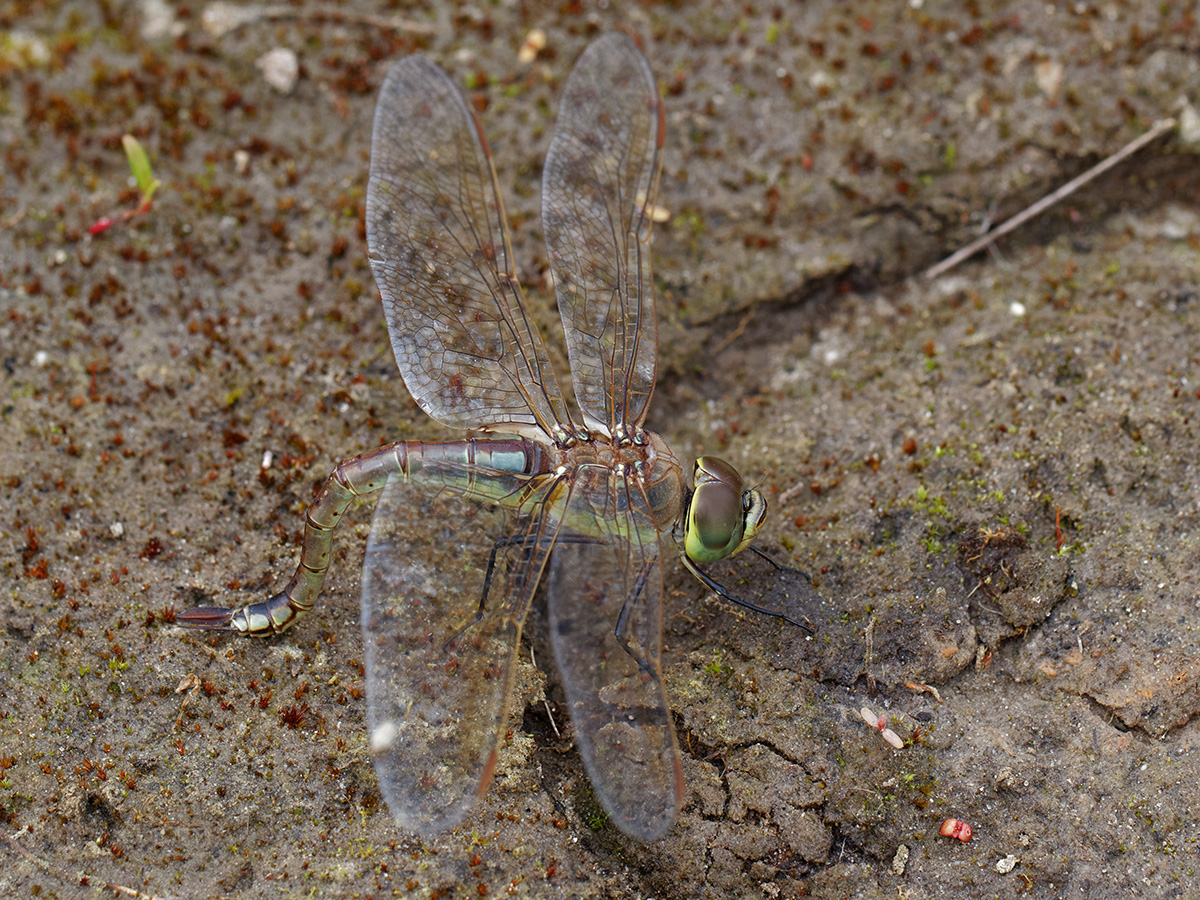 Anax ephippiger, female, ovipositing