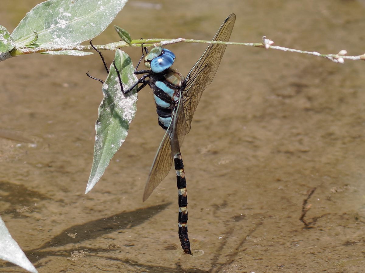 Anax immaculifrons, male