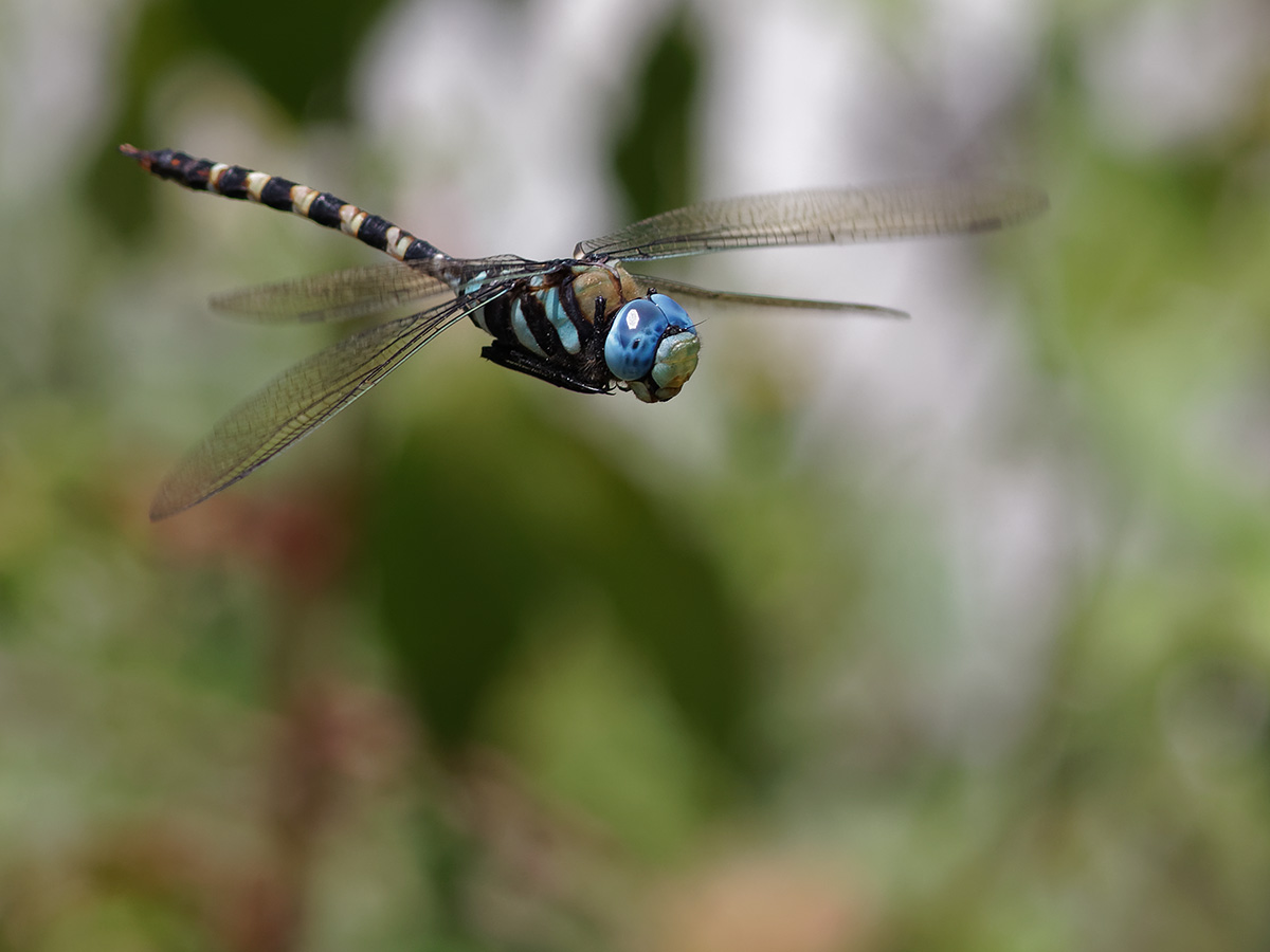 Anax immaculifrons - Magnificent Emperor