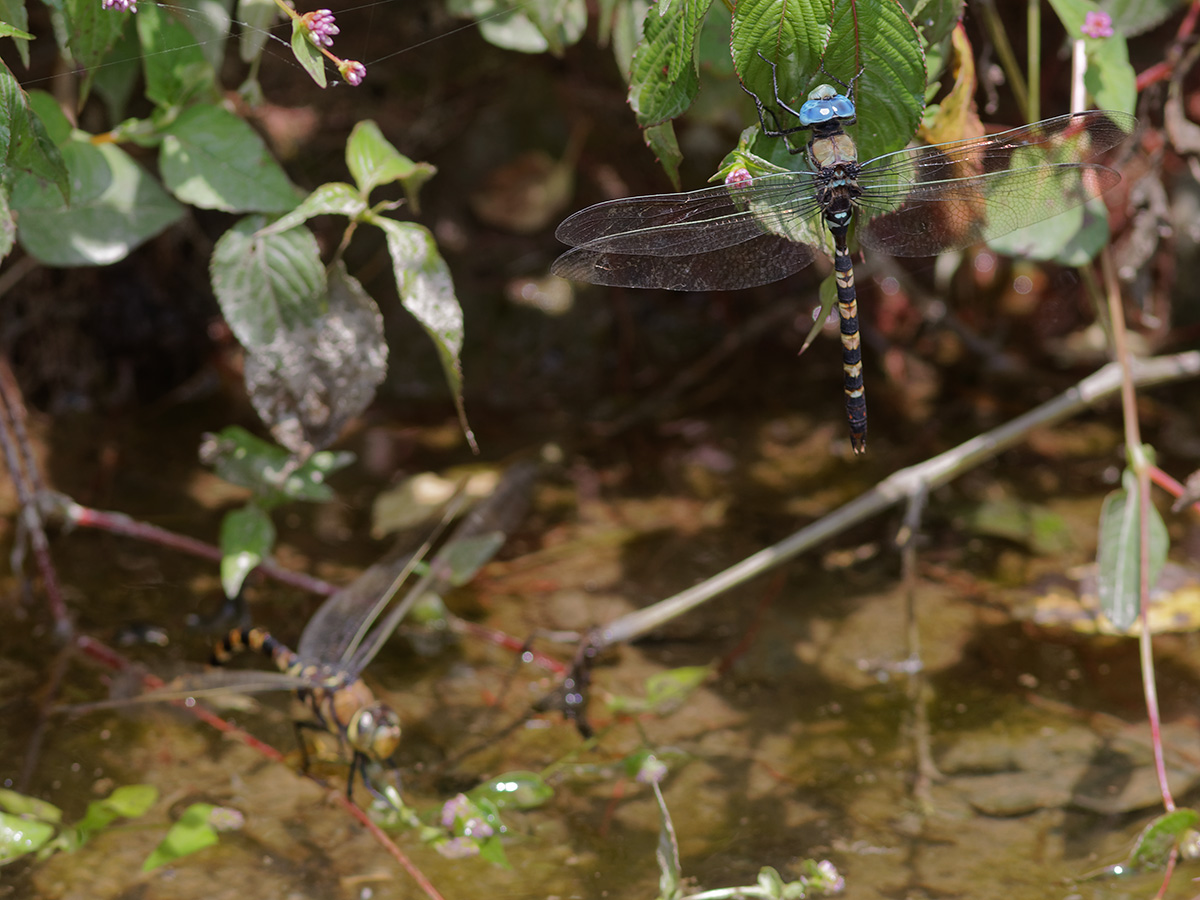 Anax immaculifrons, male guarding female