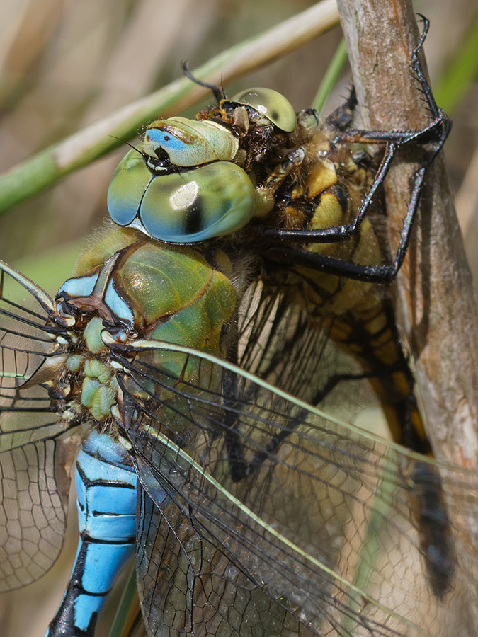 Anax imperator, male eating Orthetrum cancellatum