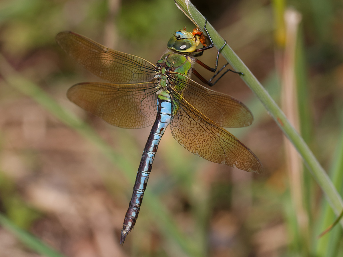 Anax imperator, female blue form