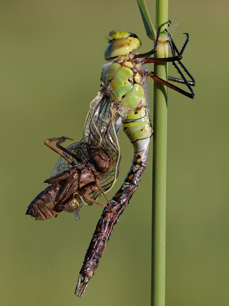 Anax imperator with Cordulia aenea exuviae stuck to wings