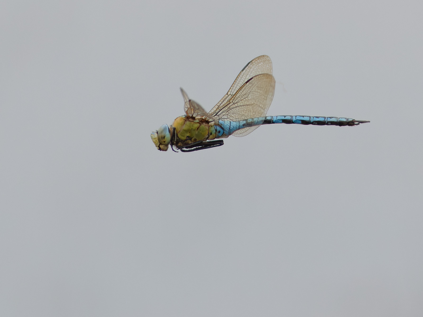 Anax imperator, male