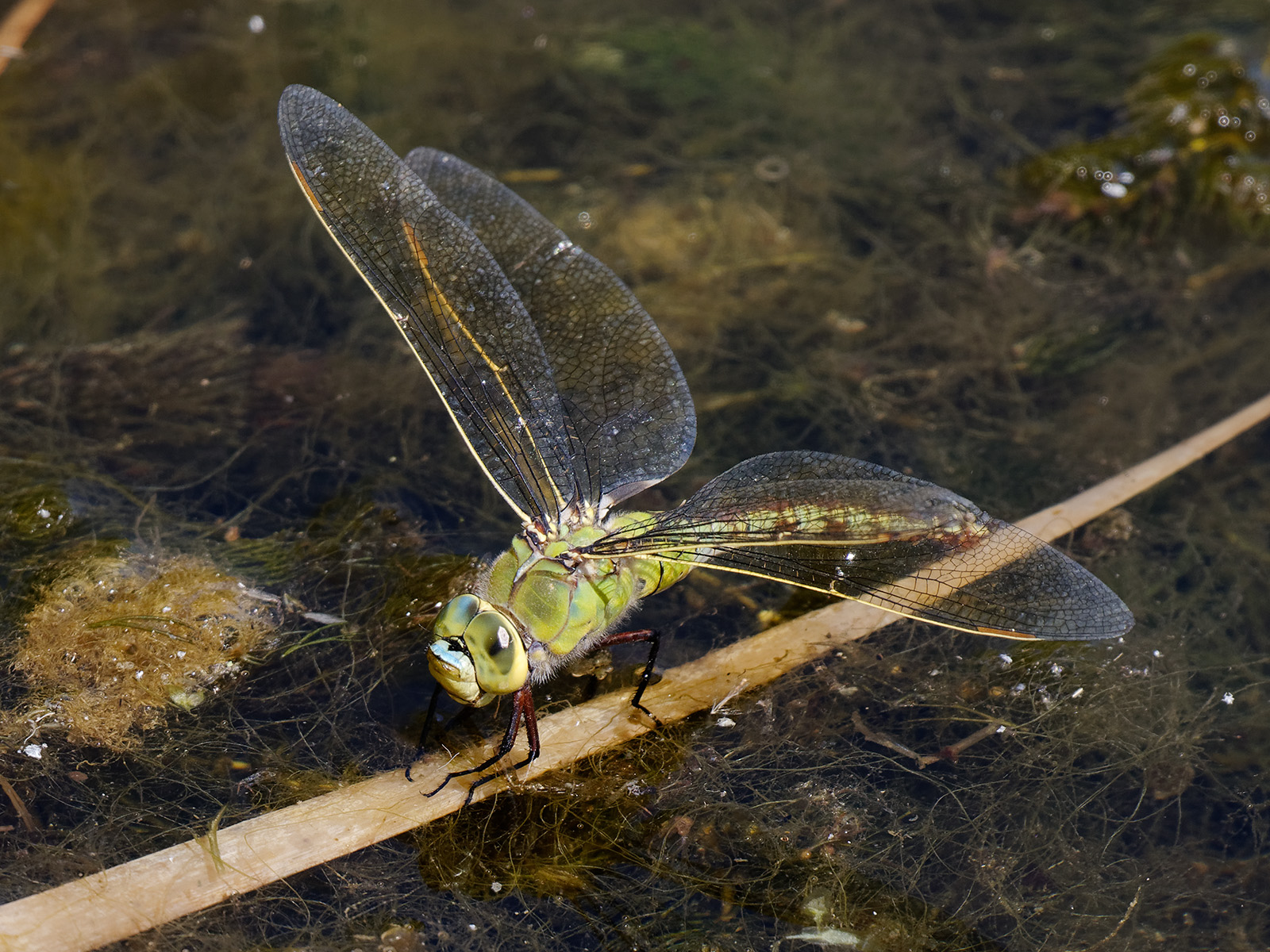 Anax imperator, female laying eggs