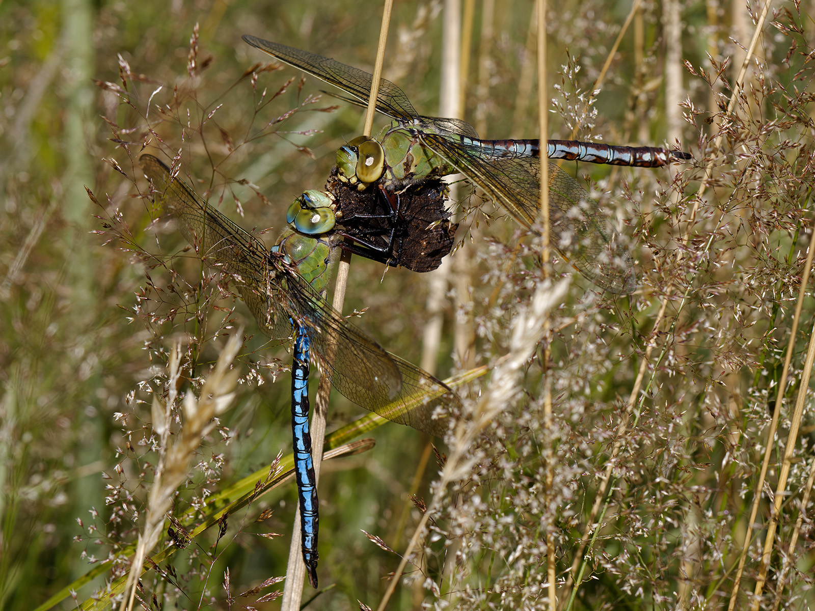 Anax imperator, male and female eating