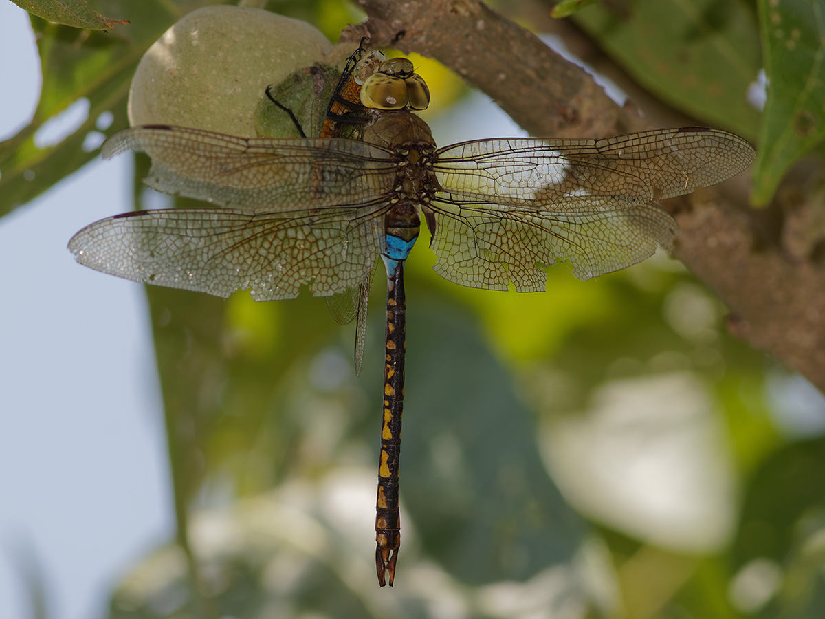 Anax indicus, male