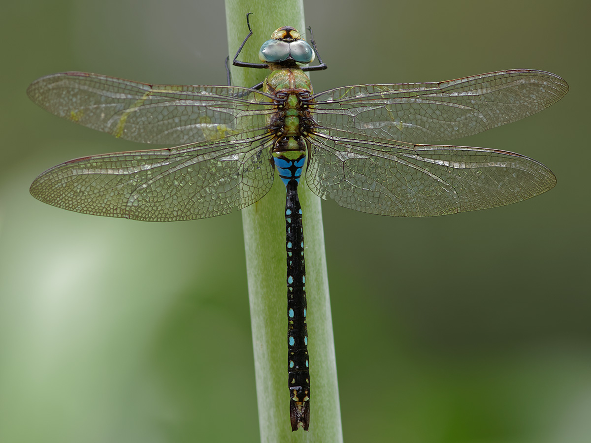 Anax nigrofasciatus, male