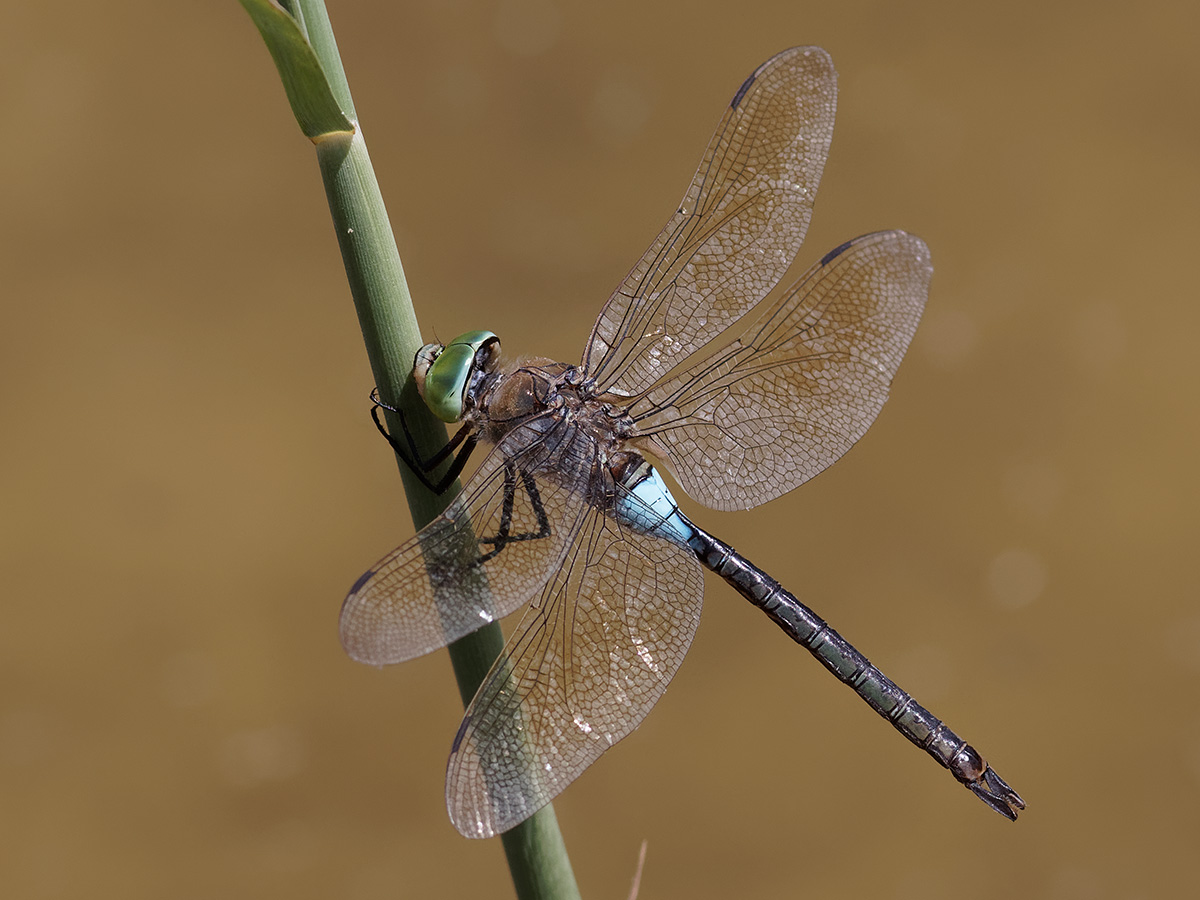 Anax parthenope, male