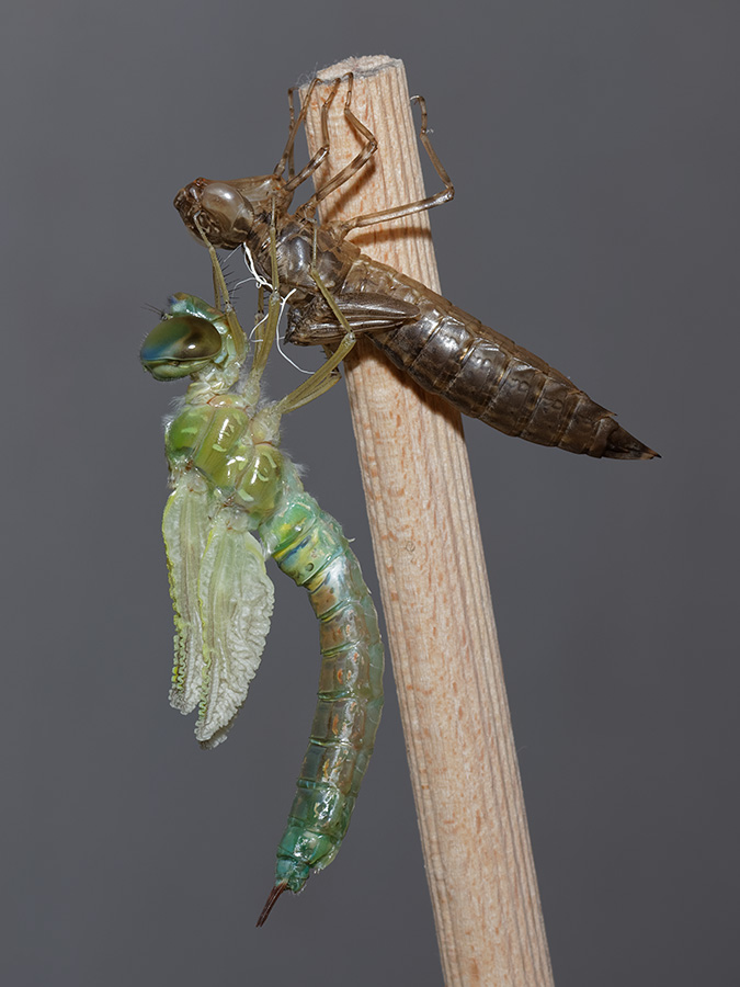 Anax parthenope, female, emerging