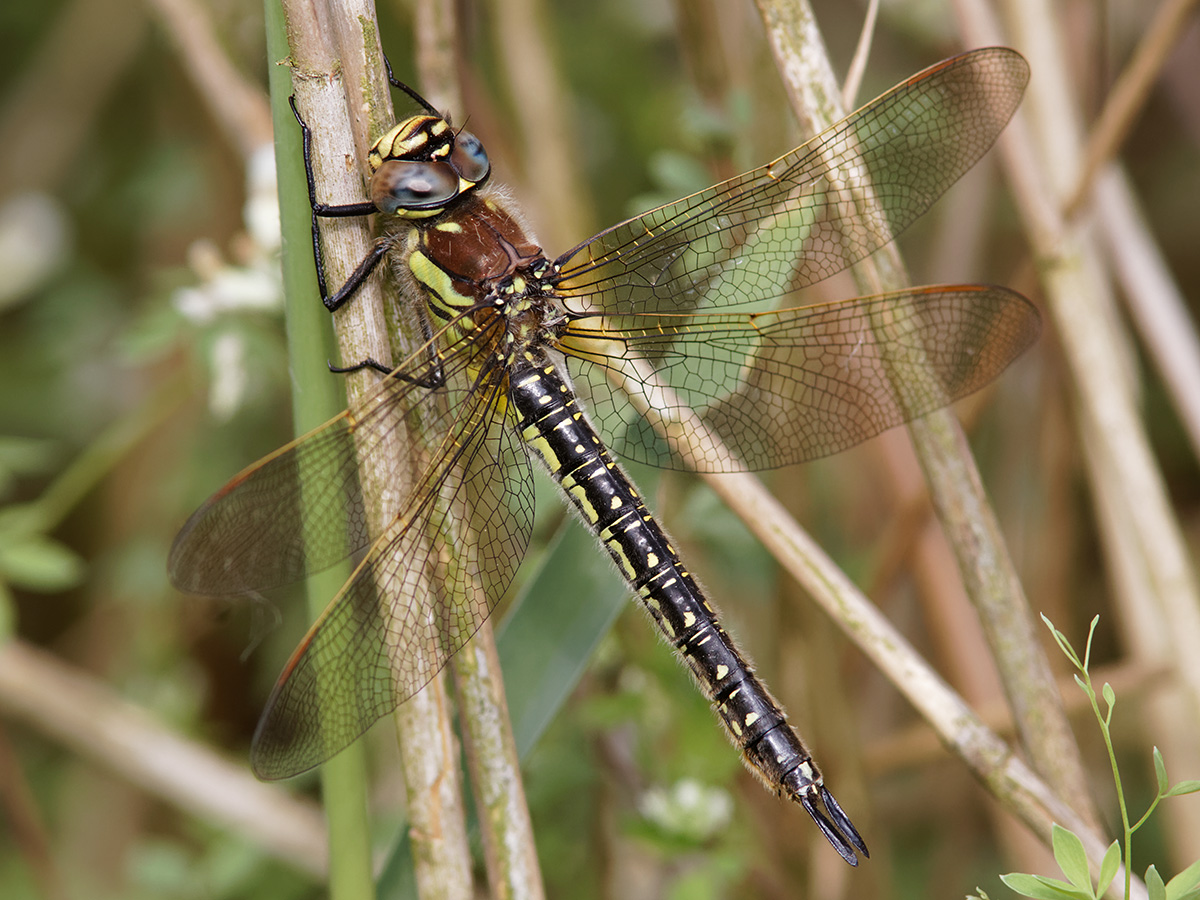 Brachytron pratense, female