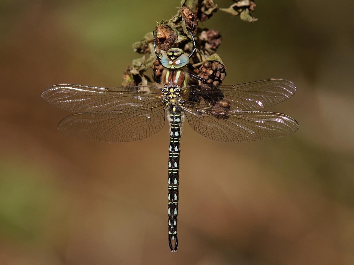Brachytron pratense, male