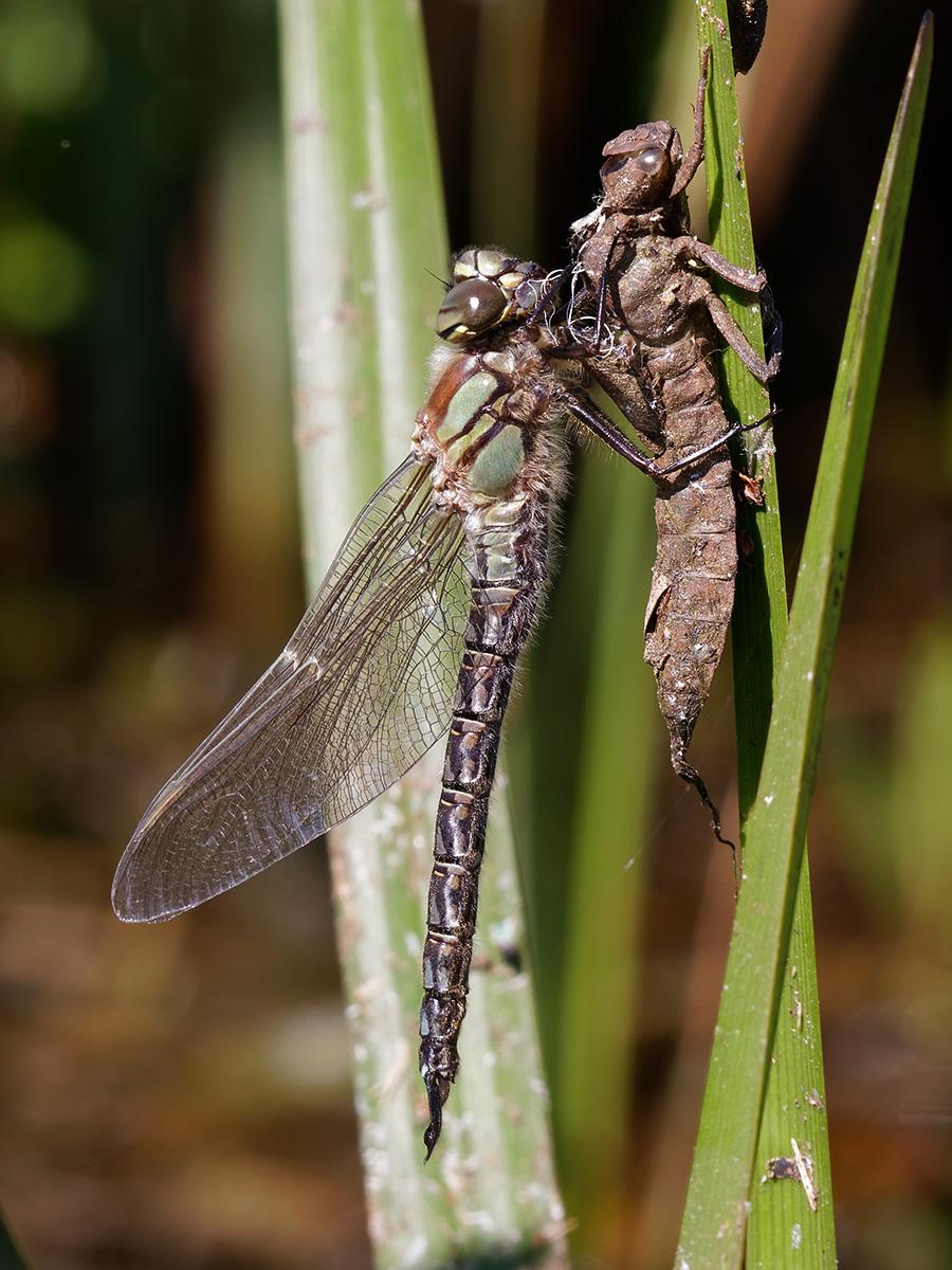Brachytron pratense, male, emerging