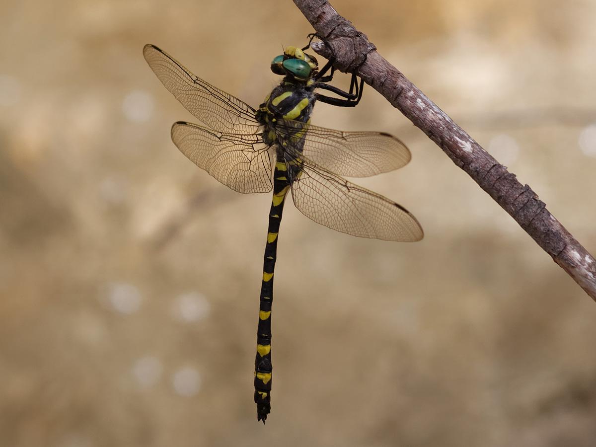 Cordulegaster boltonii algirica, male