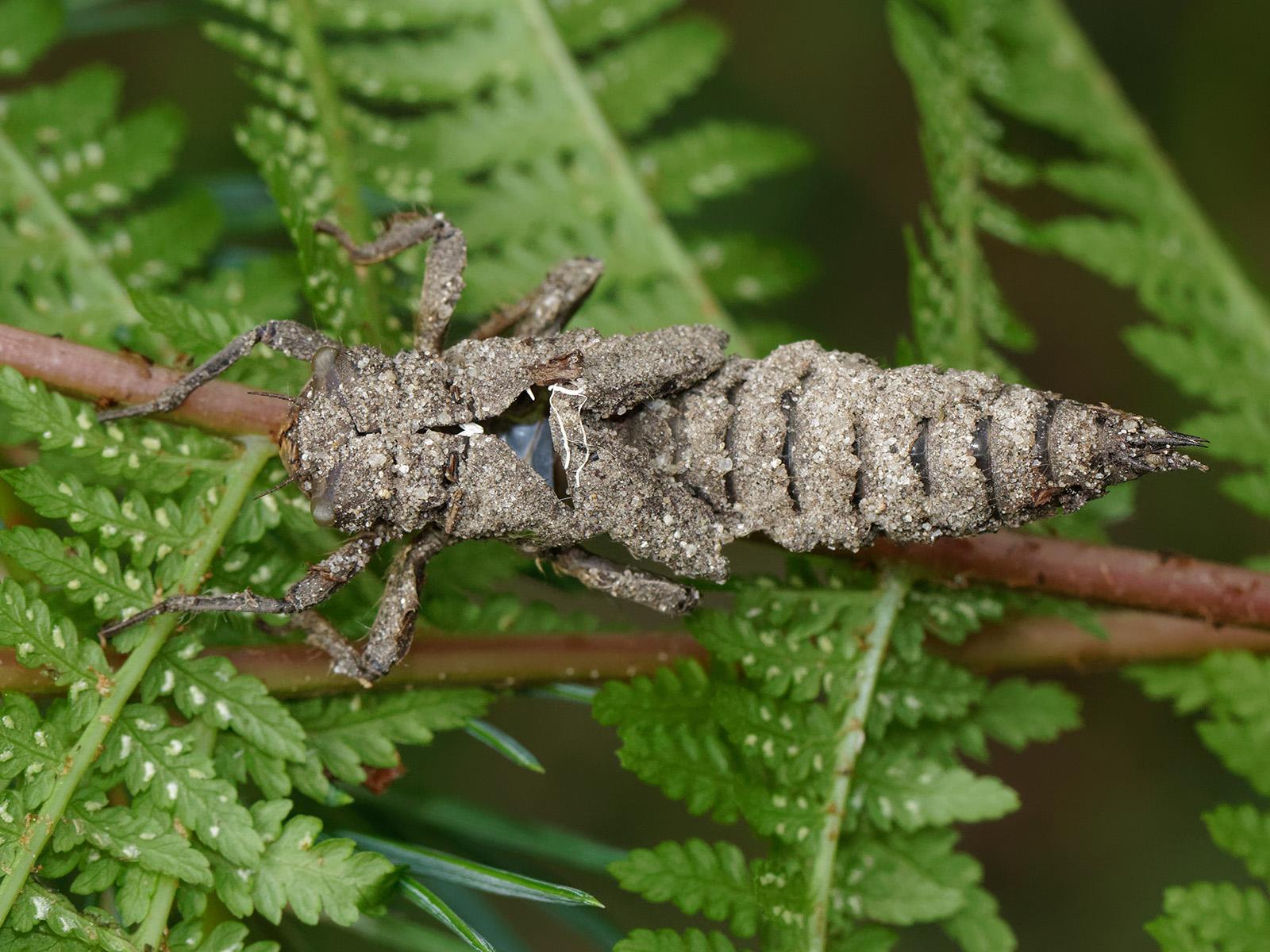 Cordulegaster boltonii, exuviae
