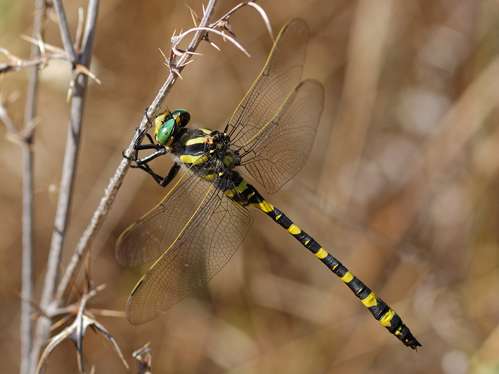 Cordulegastridae - goldenrings or spiketails