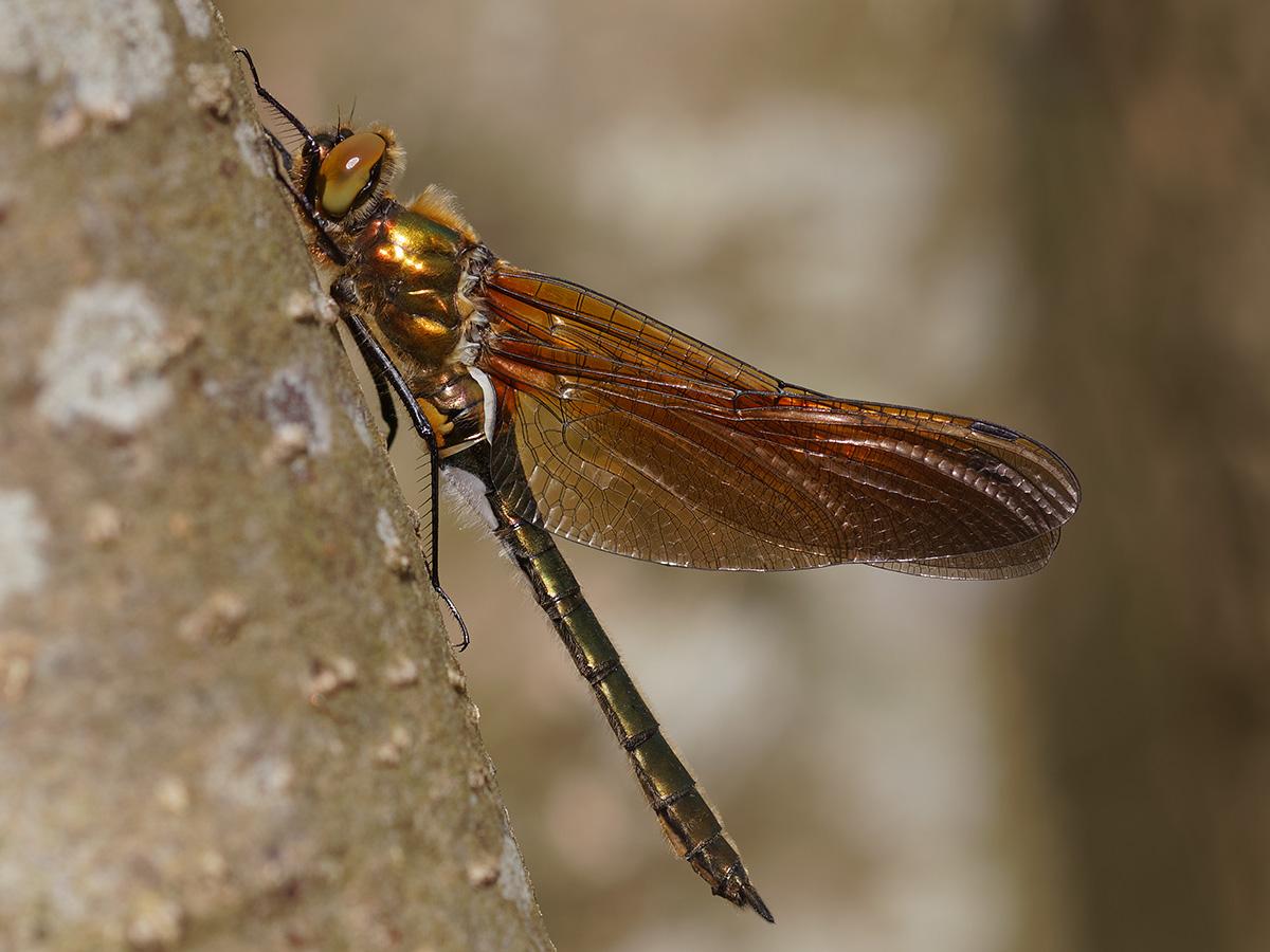 Cordulia aenea, teneral female