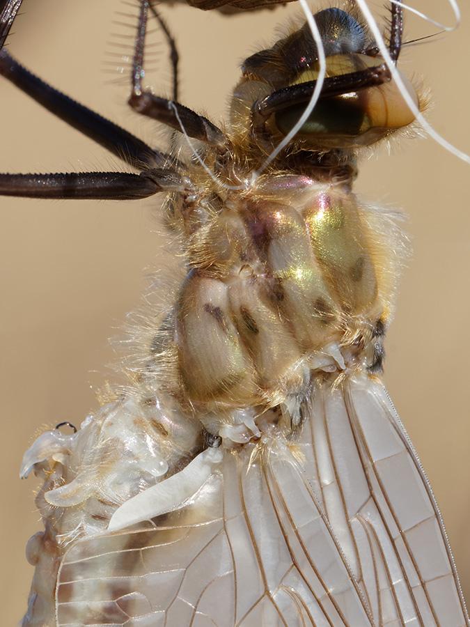 Cordulia aenea, male, emerging