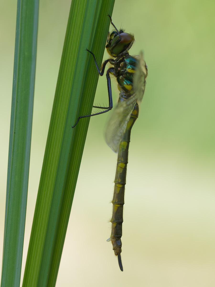 Somatochlora flavomaculata, immature female