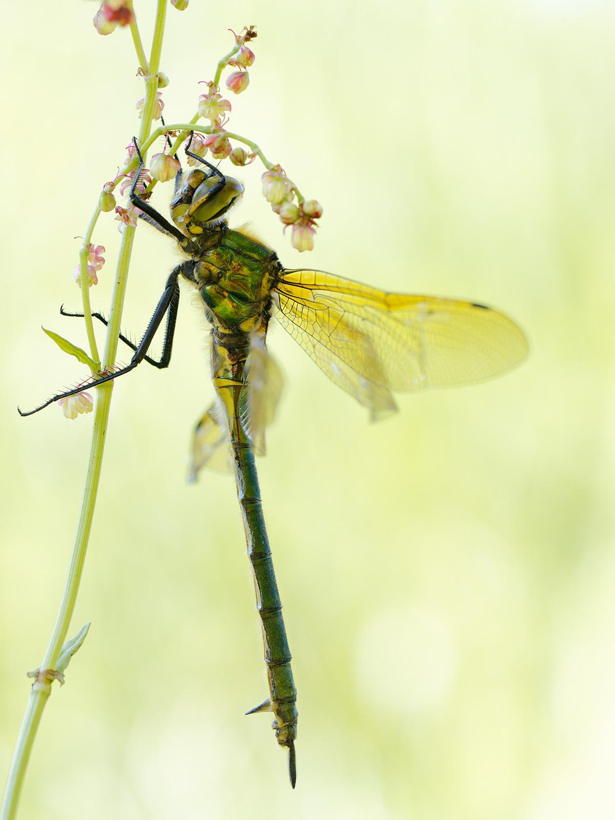 Somatochlora metallica, immature female