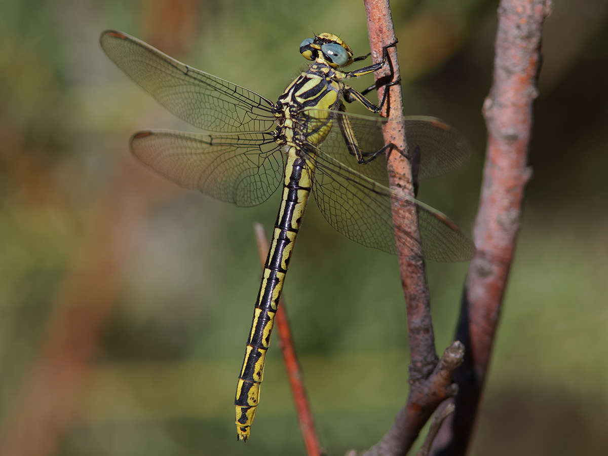 Gomphus graslinii, female