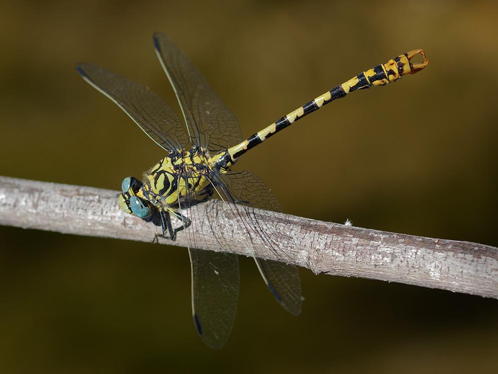 Gomphidae - clubtail dragonflies