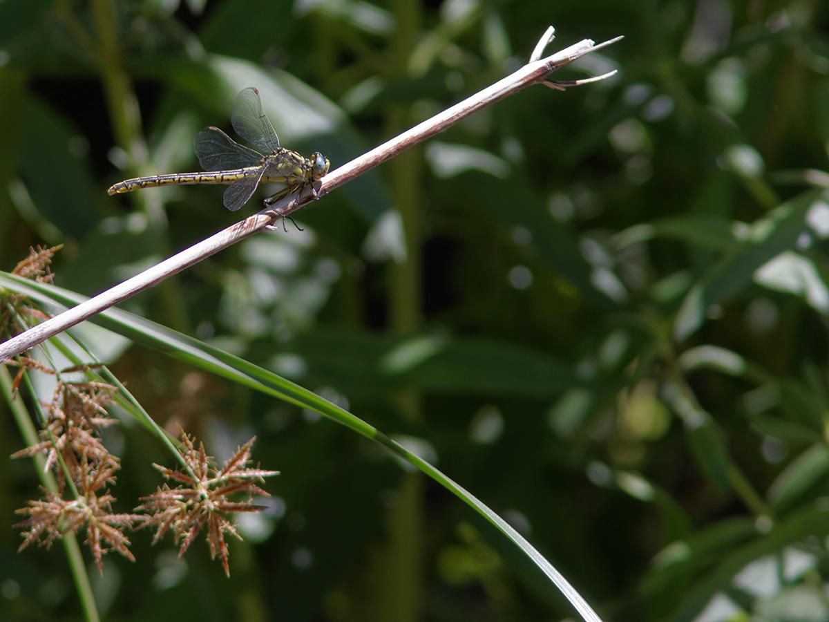 Gomphus simillimus, female