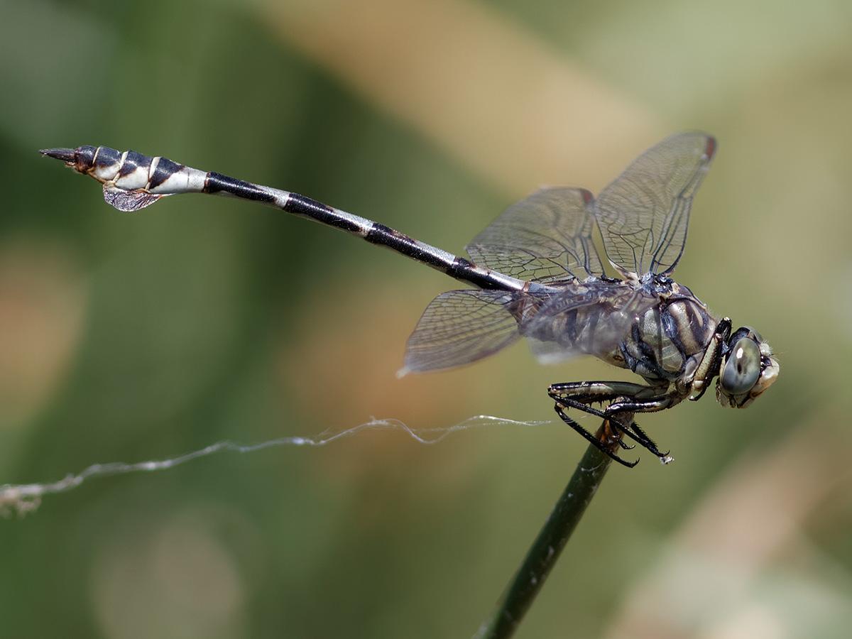 Lindenia tetraphylla, male