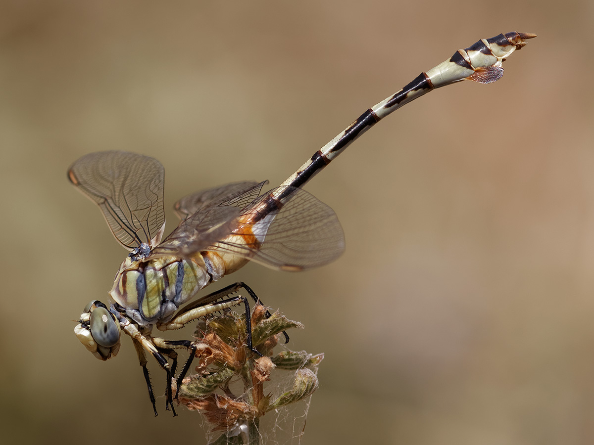 Lindenia tetraphylla - Bladetail